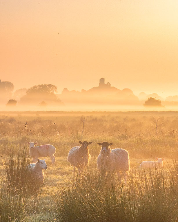 A landscape photography print of a misty sunrise with sheep at Burrow Mump on the Somerset Levels